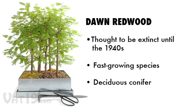 The Dawn Redwood is a unique specimen in that it is a deciduous conifer.